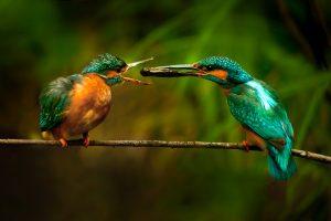 corteggiamento matin pescatore